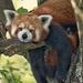 Panda Pondering by helenw2