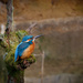 2016 03 05 - Oh deer another Kingfisher by pixiemac