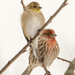 Michigan Winter Finches  by dridsdale
