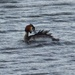 Great Crested Grebe by susiemc