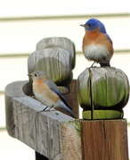 5th Mar 2016 - Mr. and Mrs. Bluebird stop by for a visit