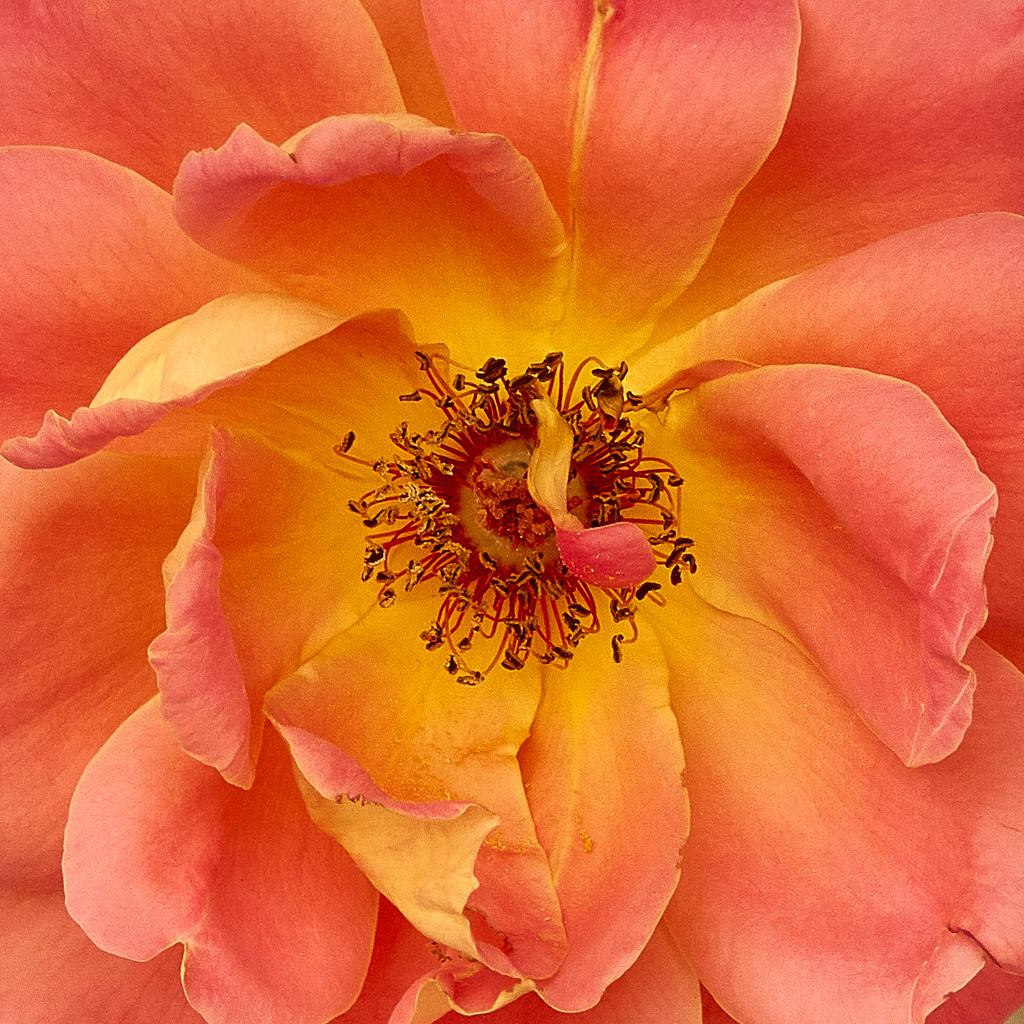 tired rose by maree_sanderson