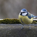 Blue Tit by leonbuys83