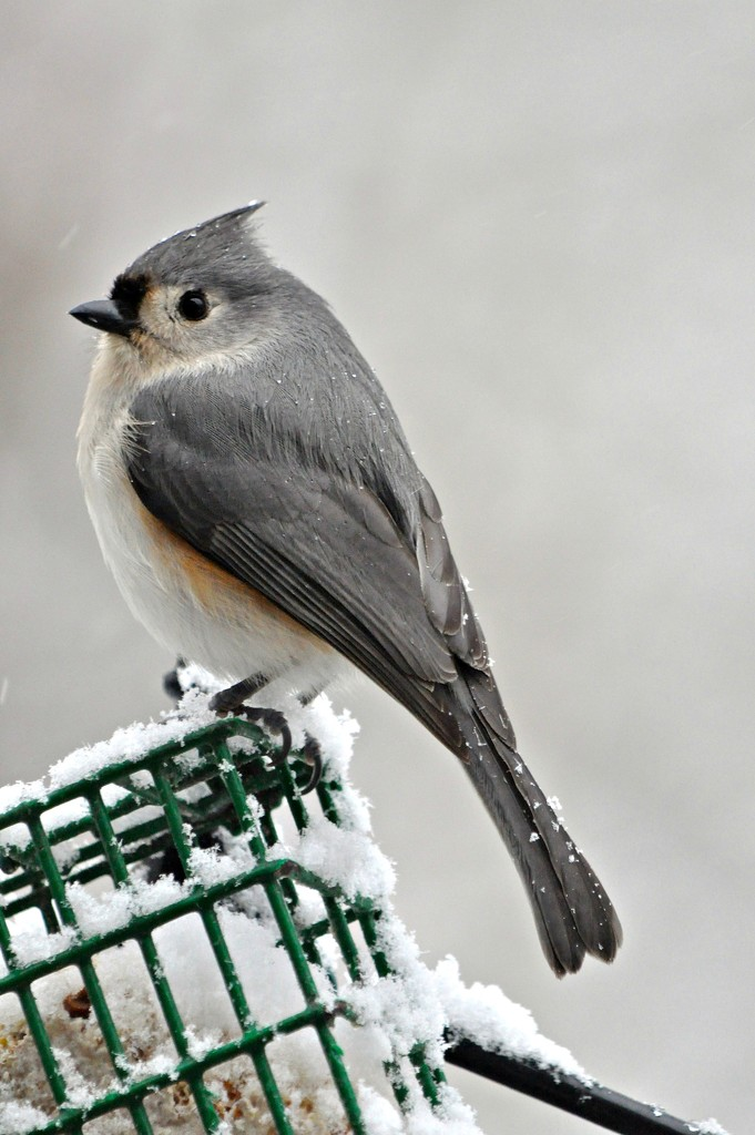 Friendly little tufted titmouse birdie. by sailingmusic