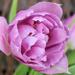 Purple Parrott. by wendyfrost