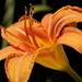 Day Lily_DSC5289 by merrelyn