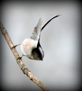 8th Mar 2016 - Long tailed tit