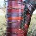 Stripey bark by kimcrisp