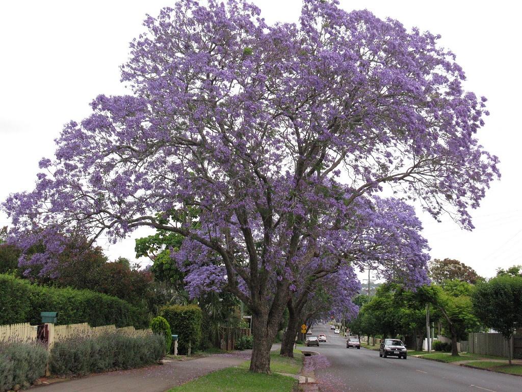 Jacaranda in bloom by loey5150