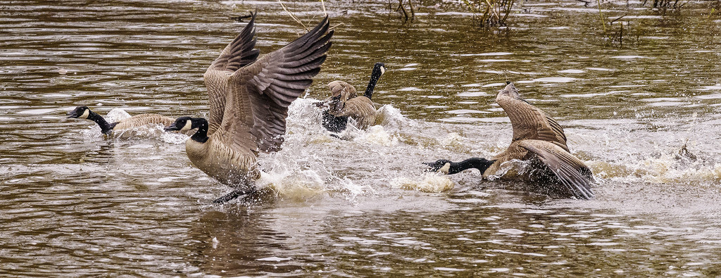 Things Are Lively In Breeding Season  by jgpittenger
