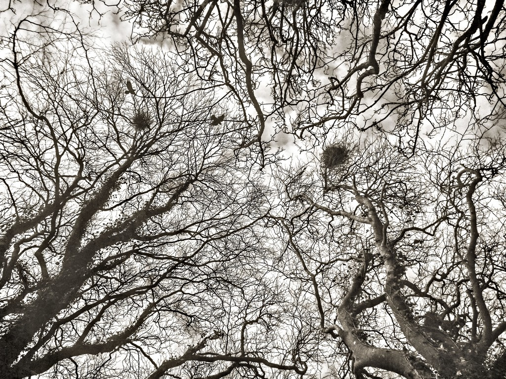 nesting crows 2 by jack4john