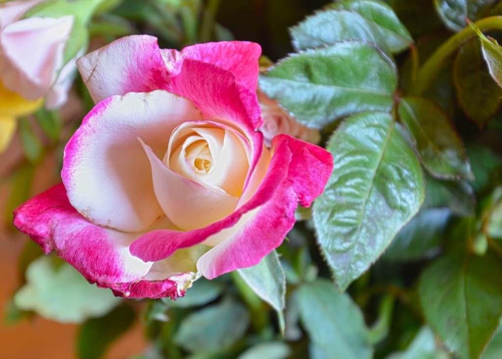 Pink Rose by salza