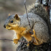 Feast or Famine - What's With These Squirrels? by milaniet
