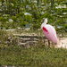 Roseate Spoonbill by fntngrma
