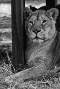 11th Mar 2016 - The Lioness