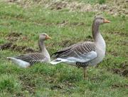 11th Mar 2016 - Geese