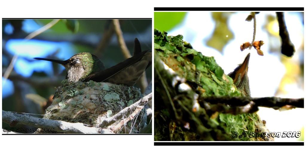 Momma and Baby Hummingbird... by soylentgreenpics