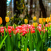 Tulip Time is Here by milaniet