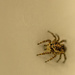 Tiny Jumping Spider by tosee