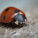 Ladybird by suebarni