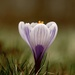Crocus Rising by mzzhope