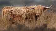 14th Mar 2016 - Highland Cattle