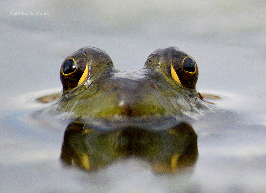 Frog Eyes (a better version) by kareenking