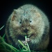 Water Vole, over and out!! by padlock
