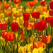 Tulips Everywhere by lynne5477