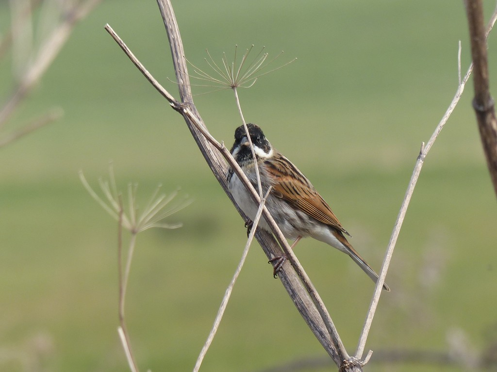 Reed Bunting (male) by susiemc