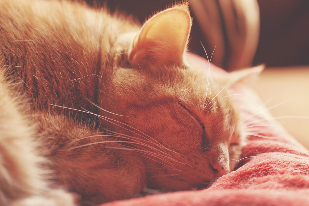 My Orange Tabby by mzzhope
