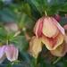 Worldwide Minute: Lenten Rose Hellebore by dsp2