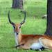 Resting Antelope by gaylewood