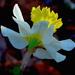 Daffodil, Magnolia Gardens by congaree
