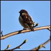 16th Mar 2016 - House sparrow