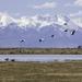 Sandhill Cranes by fntngrma