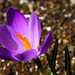 2267—0316 First Crocus by cirasj
