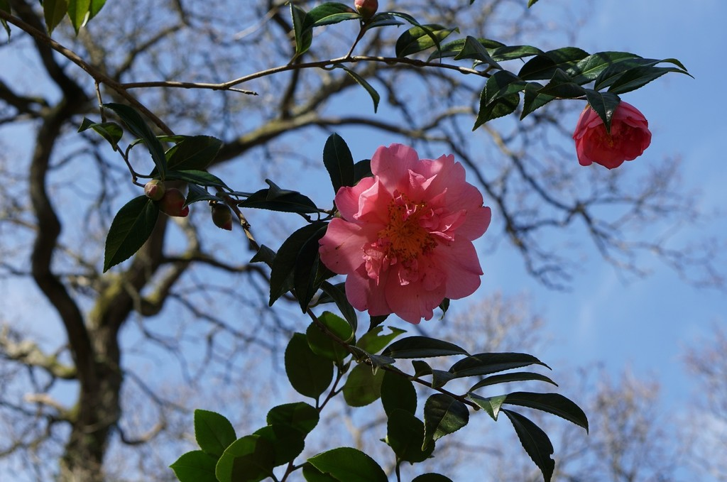 camellia in blue sky with branches by quietpurplehaze