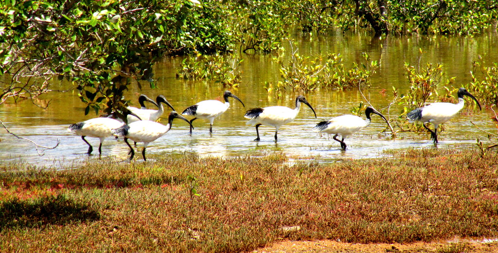 Ibis strolling along  through the mangroves by 777margo