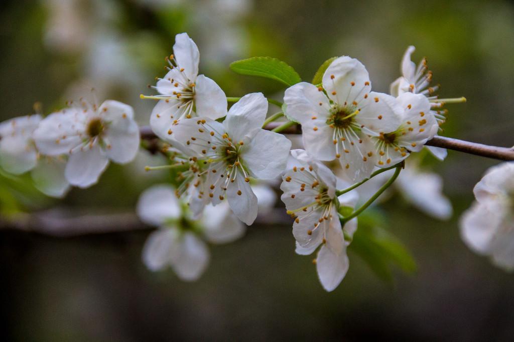 Plum blossom  by jankoos