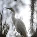 Egret, Magnolia Gardens by congaree