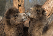 18th Mar 2016 - Camels