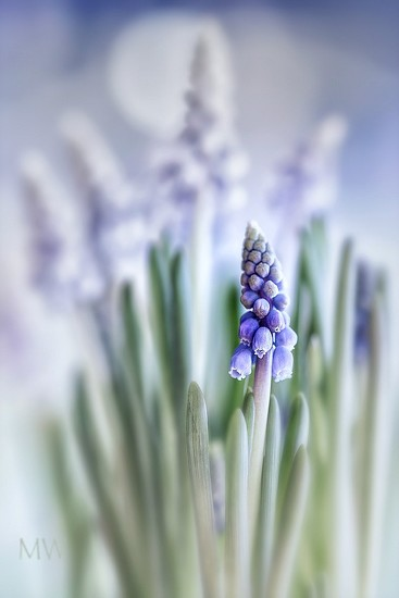 2016-03-19 muscari by mona65
