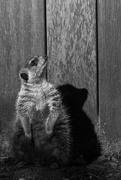 19th Mar 2016 - Posing Meerkat