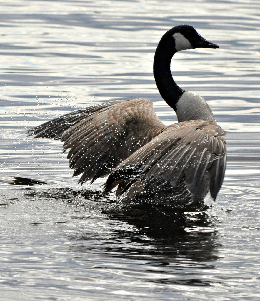 Doin' the Canada goose dance ! by sailingmusic