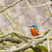 2016 03 20 - Katie's first Kingfisher seen by pixiemac