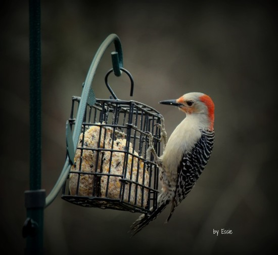 A daily visitor at our feeder by essiesue