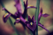 20th Mar 2016 - Tiny Iris