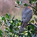 Sparrowhawk by countrylassie