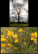 19th Mar 2016 - Gorse and Tree © Gill Haynes